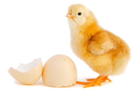 egg Hatchery day old chick