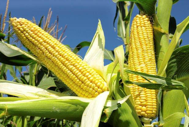 Maize farming business