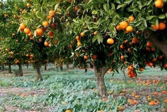 Grapefruit farming